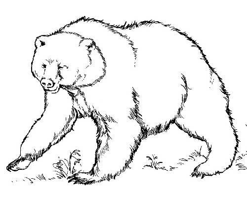 urso-peludo